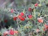 Enchylaena tomentosa (Ruby saltbush)