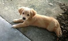 This is my Golden Retriever - Chihuahua mix. I can& wait to see how she turns out. Chihuahua Mix Puppies, Puppy Mix, Dogs And Puppies, Golden Retriever Mix, Cute Animal Photos, Dog Runs, Mixed Breed, Beautiful Creatures, Dog Cat