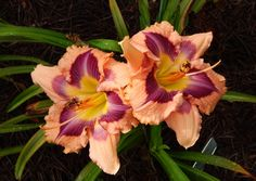 TULLY MARS daylily - MY PHOTO--HAVE IT