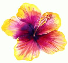 Beautiful pink and yellow Hibiscus flower in bloom illustration