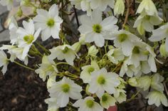 avalanche clematis | This little evergreen Avalanche Clematis is blooming its heart out ...