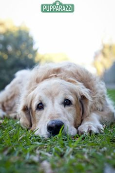 I Am A Handsome Dog From The Golden Retriever Golden Retriever