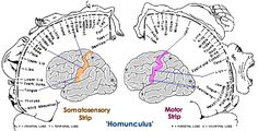 homunculus of the motor and sensory cortex