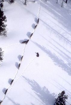 The Crystal Creek wolf pack is seen in this aerial photograph from 1999.