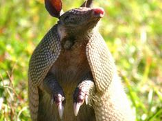 3 Leprosy Cases Confirmed in Florida; Two of the cases may be linked to contact with armadillos.