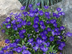 Campanula Pearl Deep Blue is a sun loving groundcover with beautiful blue blooms lasting up to 3 months