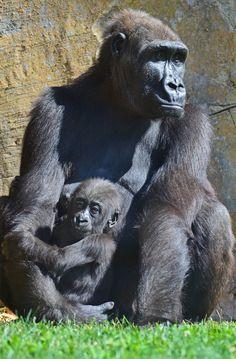 Ebo, el bebé gorila, cumple 7 meses | Ebo, the baby gorilla, meets 7 months | www.bioparcvalencia.es
