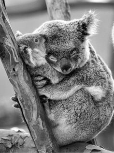 "koalas--mother and baby. ""OK, you can let go of me now mom!"" (Quote from a different copy of this charming image!)"