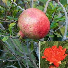Pomegranate 'Big Red' (Punica granatum) the fruit quality is very good and it can reach the size of store bought pomegranates.  Dormant plants can be stored in cold buildings without light as long as temps are not below freezing and not above 40 degrees. Plants can be brought outside in the spring.