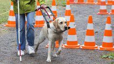 Er sieht für Zwei und sein Besitzer muss sich hundert Prozent auf ihn verlassen können: der Blindenführhund. Wer kam auf die Idee, Tiere so auszubilden, dass sie blinden Menschen den Weg weisen?