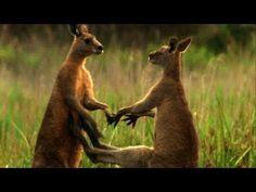 ▶ Kangaroos hopping to water - BBC Wildlife - YouTube