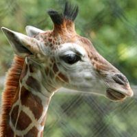 Misawa, a giraffe born Aug. 6 at Woodland Park Zoo, pictured in a photo provide… Nocturnal Animals, Jungle Animals, Baby Animals, Cute Animals, Zoo Pictures, Zoo Photos, Woodland Park Zoo, Cute Paintings, Animal Faces