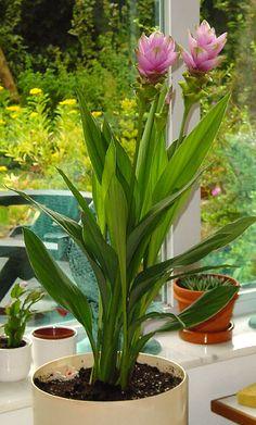 Kurkuma 2 in 1 - Fűszer- és dísznövény - Megyeri Szabolcs kertész blogja