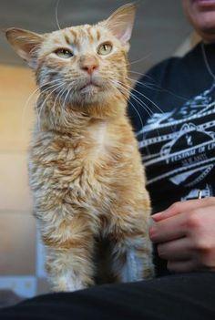WILHEM - Gato en adopción - AsoKa el Grande