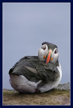 Why so sad, Puffin?  [previous pinner's great caption]