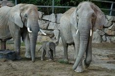 baby african elephant born on the 4th of september 2013 at the tiergarten schönbrunn in vienna