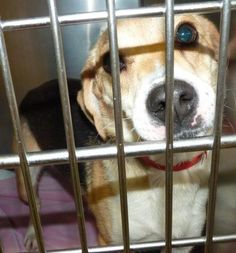 07/31/2016 STILL THERE!!! 07/26/2016 SUPER URGENT Adopt 46053 Cell Dog Flora, Young • Female • spayed, Medium sized Beagle, only a year old, came into The Animal Shelter Society, Zanesville, OH, with her sister, to adopt them both or just Flora please call 740-452-1077 and press 0 and the receptionist will be happy to assist you or email assirescue@rrohio.com. Please visit and meet Flora.
