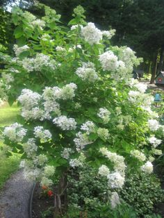 The best beautiful Hydrangea tree, just beautiful & you can dry the flower in the fall........