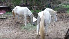"""Im November 2016 rette die französische Tierschutzorganisation """" 30 Million d´Amis """" 27 unterernährte Tiere (26 Pferde & 1 Esel) von einem Hof im..."""