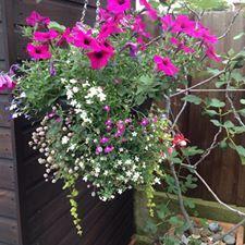 Hanging Basket Entry Number Twenty-eight #hangingbasket #garden #gardening #flowers #inspiration #summer