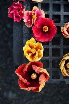 Efímero hibiscus