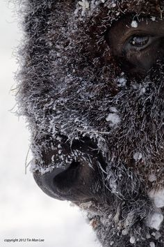 Bison Winter Portrait (American bison - Bison bison) - photo by Tin Man Lee