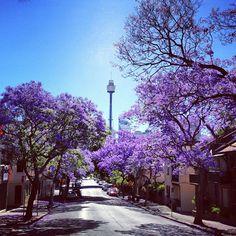 Jacaranda trees in Sydney, Australia