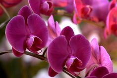 Phalaenopsis_P._Jiubao_Sweetie_at_the_Pacific_Orchid_Exposition_2010_2.jpg 3,900×2,616 pixels