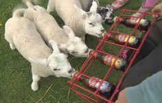 Drinken de lammetjes nu Texels bier ?