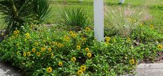"""Helianthus debilis (dune or beach sunflower; get """"East Coast"""" kind as it is shorter - the West Coast kind is taller) - sun/ls, 1-1.5 feet x 10-15' radius spread, fast growth, yellow flowers most year, well drained, drought tolerant, no water once established, easy to trim. Cons: can get a bit ratty over winter, overruns small plants and may need to replenish from time to time (die after couple years).  FLORIDA FRIENDLY recommended."""