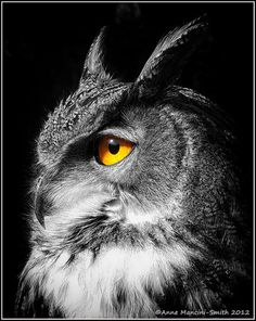 Bubo Bubo by Anne Mancini-Smith, via Flickr