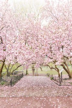 Magnolia blossoms in Central Park, New York. #newyorkart #newyork #springinnewyork #newyorkprints #homedecor #newyorkdecor Floral Photography, Fine Art Photography, Bloom Book, City Flowers, Spring In New York, New York Art, Public Garden, White Clouds, Happy Weekend