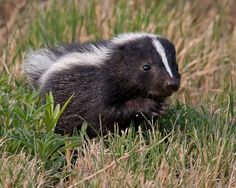 Beautiful Creatures, Animals Beautiful, Striped Skunk, Baby Skunks, Wolf Images, Mammals, Cute Pictures, Squirrels, Badger
