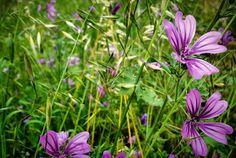 Fiori viola in Primavera.