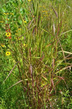 ? use #1 Virginia Wild Rye  Height: 2.00 to 4.00 feet Spread: 1.00 to 2.00 feet