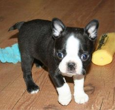 Boston Terrier  - I remember when my bub was this small :) Best dog of my life