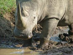 Rhino at the waterhole Photography Digital JPG Download on Etsy, $3.50