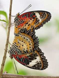 Leopard Lacewing <3