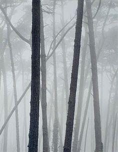 Monterey Pines, Fog, Pebble Beach, John Sexton