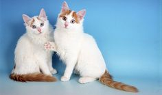 Turkish Van kittens..  On the rare occasions that he is sitting still, the Turkish Van is inclined to be loving and affectionate, frequently following his favorite person around the house. He enjoys being petted but isn't necessarily fond of being held or cuddled.