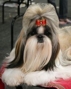 DOGS 101 - SHIH TZU