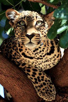 Leopardo. Son un puro conecte a la Tierra y los elementos. Criaturas maestras del instinto.