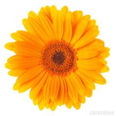 GrowersBox.com: Flowers: Gerbera Daisies Orange 84 Stems: Wholesale Flowers
