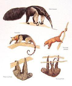 Giant Anteater, Silky Anteater, Two Toed Sloth, Three Toed Sloth, Tamandua.........clockwise from upper left corner....World Book Encyclopedia....via My Sunshine Vintage on ETSY