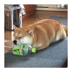 It was nominated for the best cushion award IS SO MY DOG! Shiba Inu, Cute Puppies, Cute Dogs, Dogs And Puppies, Japanese Dogs, Akita Dog, Cute Funny Animals, Dog Toys, Animals And Pets