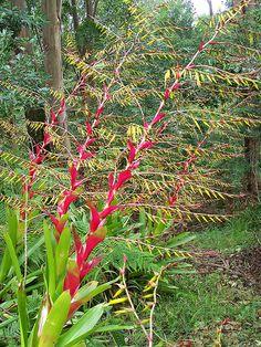 Flor da VRIESEA-PHILIPPO-COBURGII