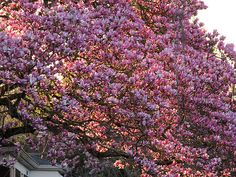 Pink magnolia blossoms; 8Magnolia2 by Alicia P.