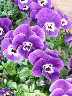 173 Best Flowers Pansies Images Beautiful Flowers Planting