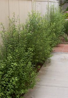 Pittosporum: Current Screening The 2 Minute Gardener: Photo - Silver Sheen Pittosporum (Pittosporum tenuifolium 'Silver Sheen') Garden Shrubs, Shade Garden, Garden Beds, Garden Plants, Hedging Plants, Landscaping With Rocks, Modern Landscaping, Front Yard Landscaping, Landscaping Ideas