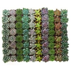 2 in. Unique Succulent (Collection of - The Home Depot 2 in. Unique Succulent (Collection of How To Water Succulents, Planting Succulents, Watering Succulents, Growing Succulents, Succulents Diy, Propagating Succulents, Home Depot, Cactus Plants, Succulent Plants